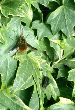 bee flies and friend