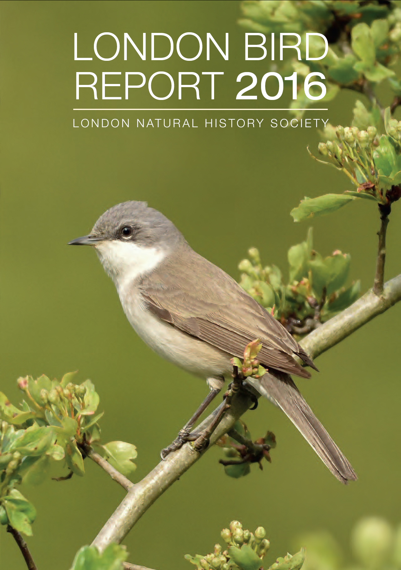 Lesser Whitethroat (Russ Sherriff)