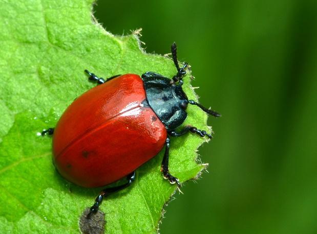 London Natural History Society - Beetles of London